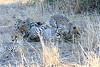 Cheetah_Mashatu_Botswanna__0018