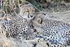 Cheetah_Mashatu_Botswanna__0195
