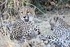Cheetah_Mashatu_Botswanna__0202