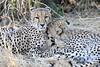 Cheetah_Mashatu_Botswanna__0196