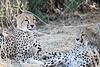 Cheetah_Mashatu_Botswanna__0203