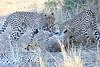 Cheetah_Mashatu_Botswanna__0012