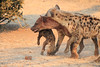 Do_NOT_Mess_With_Alpha_Hyena_Mashatu_Botswana0004