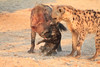 Do_NOT_Mess_With_Alpha_Hyena_Mashatu_Botswana0012