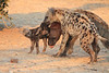 Do_NOT_Mess_With_Alpha_Hyena_Mashatu_Botswana0001