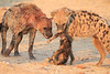 Do_NOT_Mess_With_Alpha_Hyena_Mashatu_Botswana0013