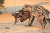 Do_NOT_Mess_With_Alpha_Hyena_Mashatu_Botswana0002