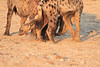 Do_NOT_Mess_With_Alpha_Hyena_Mashatu_Botswana0018