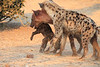 Do_NOT_Mess_With_Alpha_Hyena_Mashatu_Botswana0006