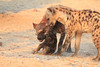 Do_NOT_Mess_With_Alpha_Hyena_Mashatu_Botswana0009