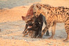 Do_NOT_Mess_With_Alpha_Hyena_Mashatu_Botswana0010