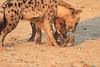 Do_NOT_Mess_With_Alpha_Hyena_Mashatu_Botswana0016