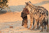 Do_NOT_Mess_With_Alpha_Hyena_Mashatu_Botswana0007