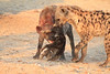 Do_NOT_Mess_With_Alpha_Hyena_Mashatu_Botswana0011