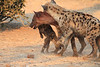 Do_NOT_Mess_With_Alpha_Hyena_Mashatu_Botswana0005