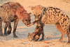 Do_NOT_Mess_With_Alpha_Hyena_Mashatu_Botswana0014