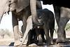 Elephant_Matebole_Hide_Botswanna__0062