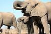 Elephant_Matebole_Hide_Botswanna__0088