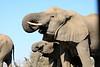 Elephant_Matebole_Hide_Botswanna__0090