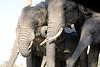 Elephant_Matebole_Hide_Botswanna__0070