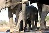 Elephant_Matebole_Hide_Botswanna__0064