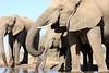 Elephant_Matebole_Hide_Botswanna__0083