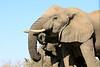 Elephant_Matebole_Hide_Botswanna__0097