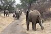 Elephant_Mashatu_Botswanna__0029