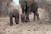 Elephant_Mashatu_Botswanna__0008