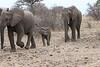 Elephant_Mashatu_Botswanna__0005