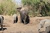 Elephant_MudBath_Mashatu_Botswana0024