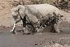 Elephant_MudBath_Mashatu_Botswana0045