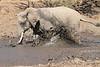 Elephant_MudBath_Mashatu_Botswana0044