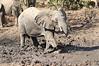 Elephant_MudBath_Mashatu_Botswana0123