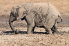 Elephant_MudBath_Mashatu_Botswana0014