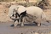 Elephant_MudBath_Mashatu_Botswana0038