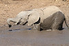 Elephant_MudBath_Mashatu_Botswana0036
