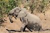 Elephant_MudBath_Mashatu_Botswana0125