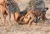 Hyena_Family_Mashatu_Botswanna__0566