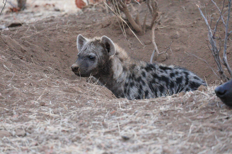 Hyena_Family_Mashatu_Botswanna__0292