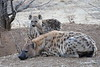 Hyena_Family_Mashatu_Botswanna__0307