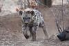 Hyena_Family_Mashatu_Botswanna__0293