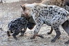 Hyena_Family_Mashatu_Botswanna__0319