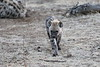 Hyena_Family_Mashatu_Botswanna__0309