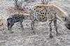 Hyena_Family_Mashatu_Botswanna__0306
