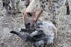 Hyena_Family_Mashatu_Botswanna__0297