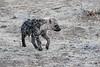 Hyena_Family_Mashatu_Botswanna__0310