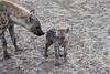 Hyena_Family_Mashatu_Botswanna__0302