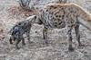 Hyena_Family_Mashatu_Botswanna__0304