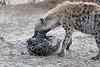 Hyena_Family_Mashatu_Botswanna__0317